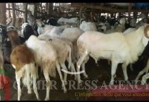 Les moutons dans l'enclos